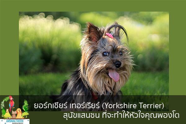 ยอร์กเชียร์ เทอร์เรียร์ (Yorkshire Terrier) สุนัขแสนซน ที่จะทำให้หัวใจคุณพองโต จัดสวนหน้าบ้าน ต้นไม้มงคล สัตว์เลี้ยงน่ารัก ทริคจัดสวน วิธีเลี้ยง หมา แมว หมู นก